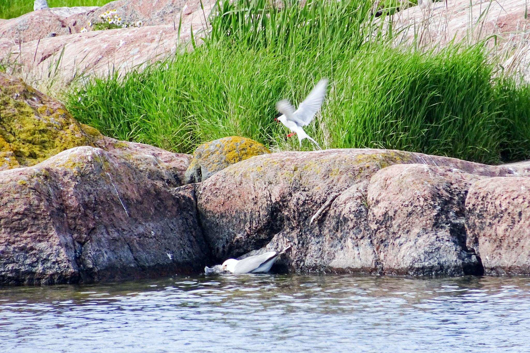 Möwe mit Seeschwalben-Jungem