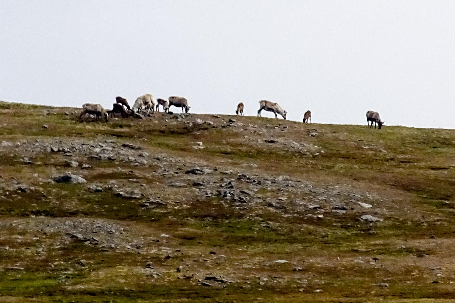 Rentiere auf den Bergen des Saksfjorden