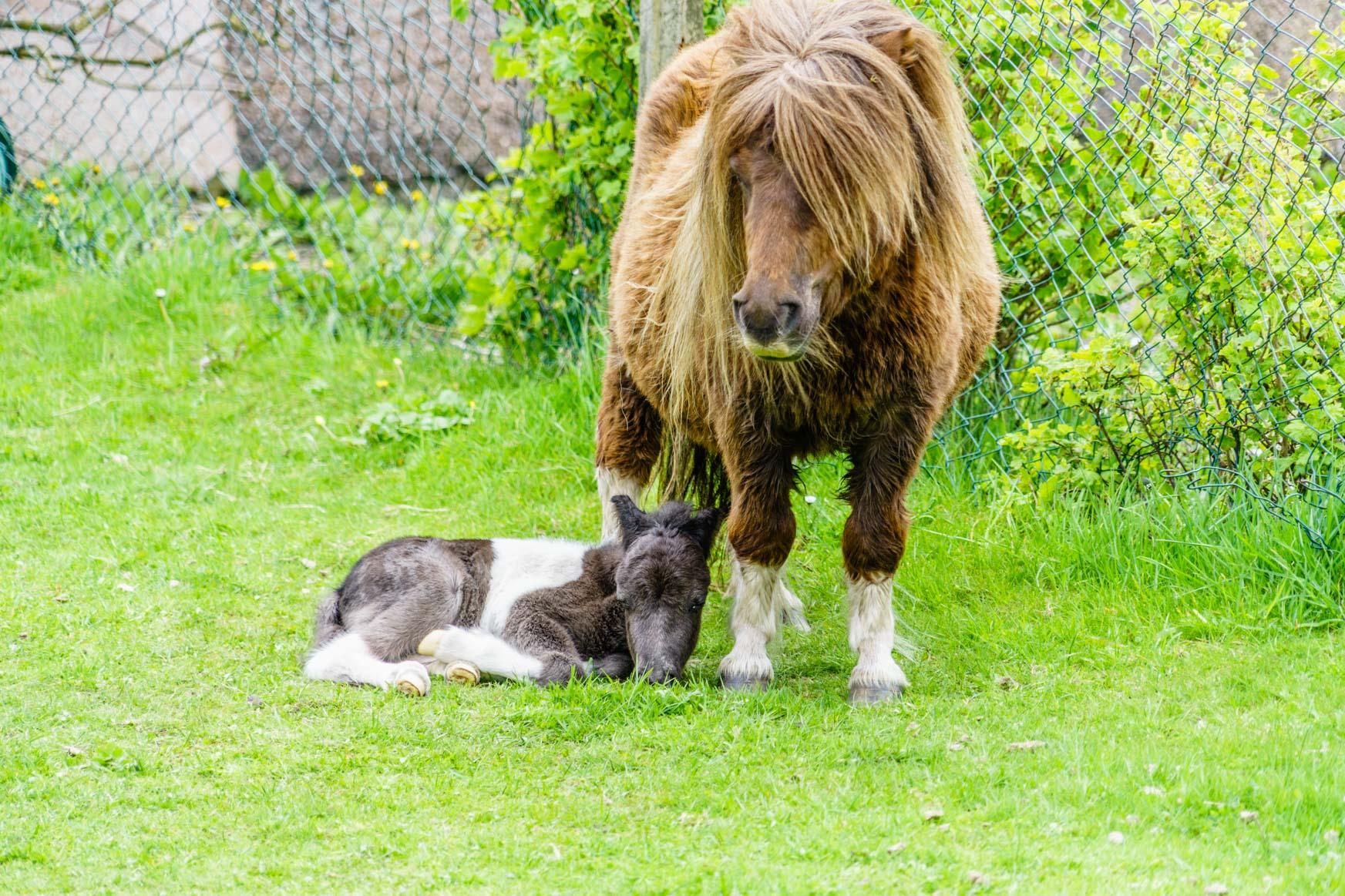 Shetland Ponys in Lerwick