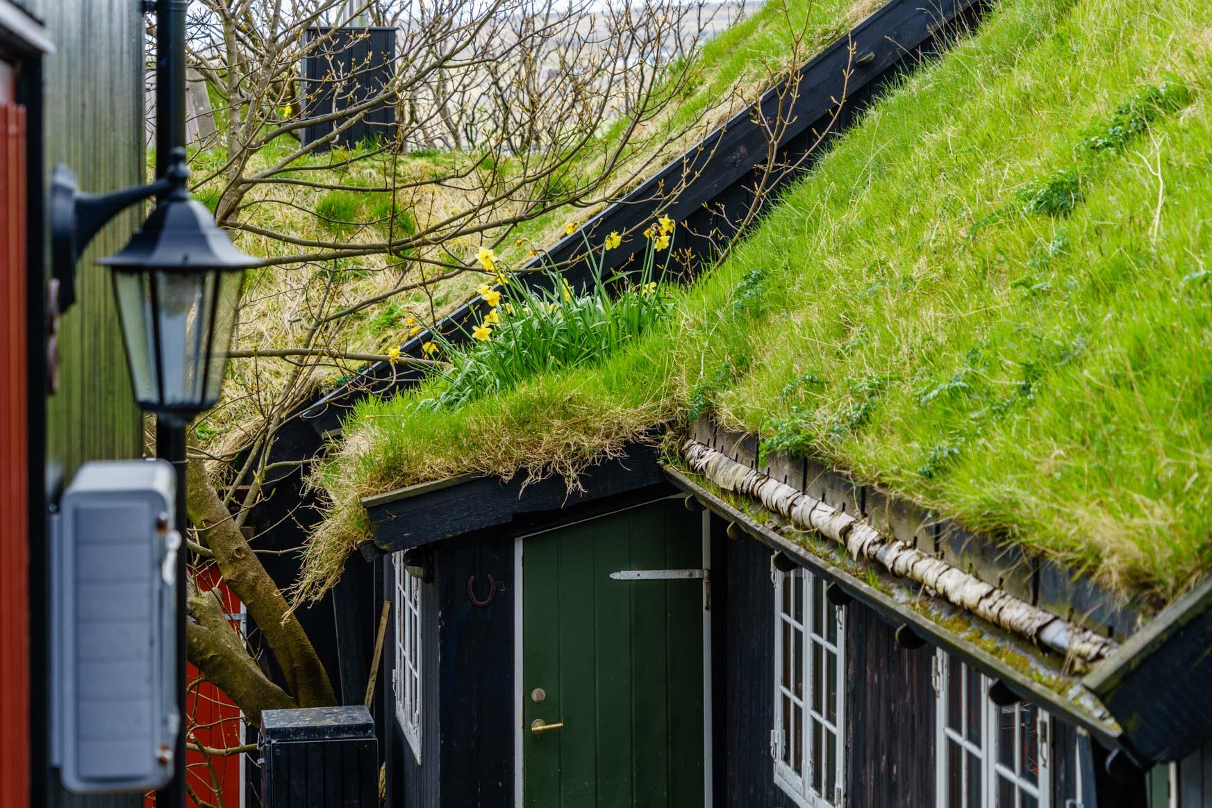 Osterglocken auf dem Grasdach in der Altstadt