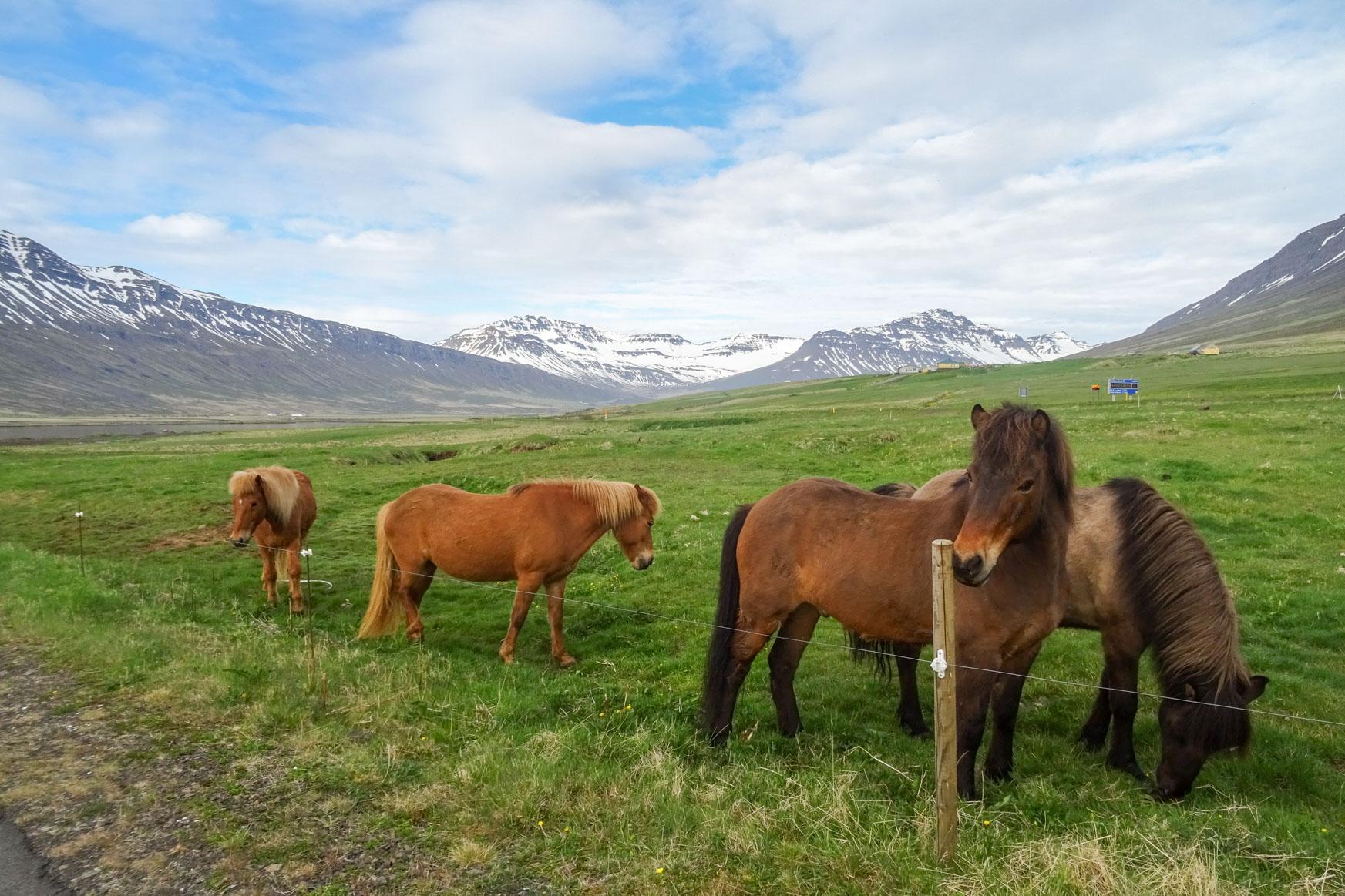 Island Ponys unterwegs