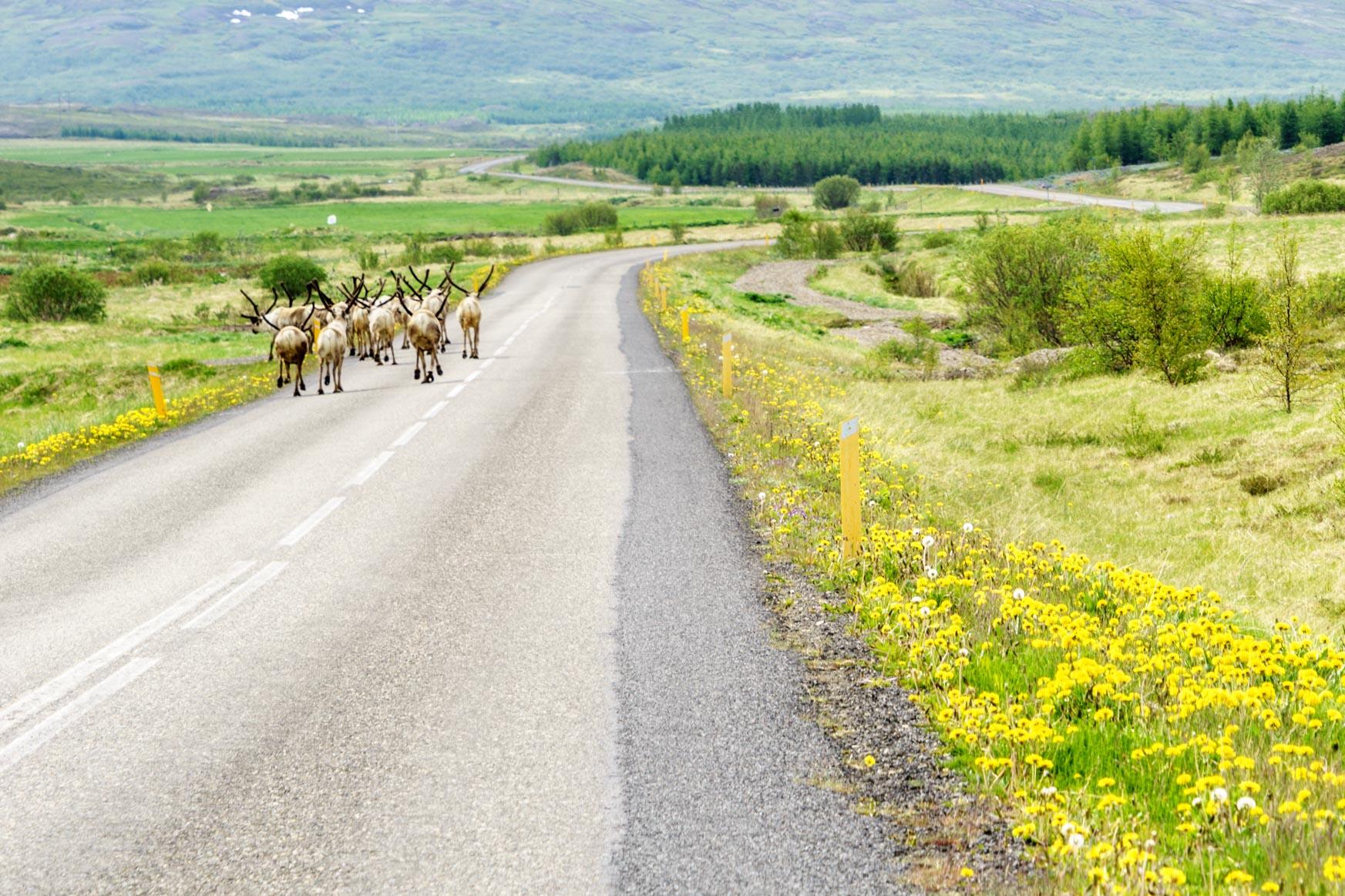 Rentiere auf der Flucht vor uns