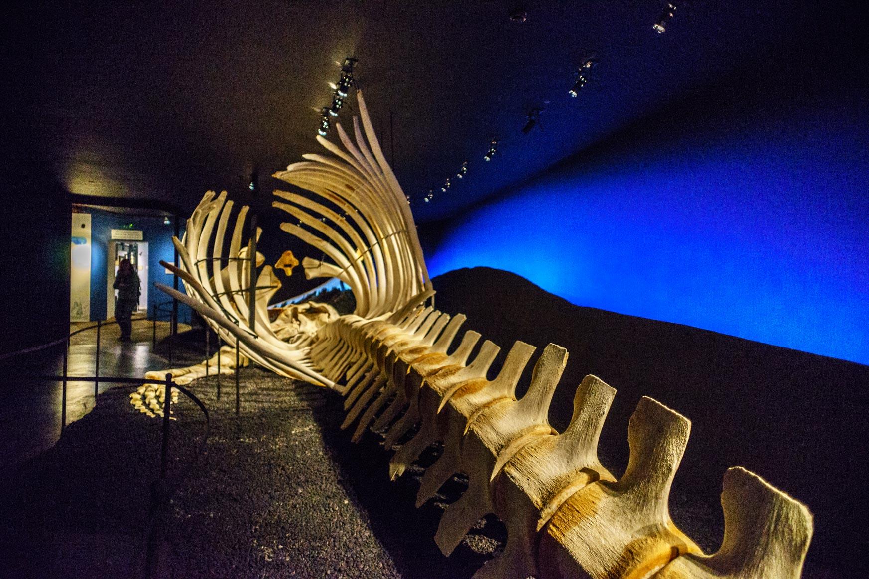 Skelett eines Blauwales